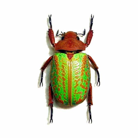 ONE Real green Chrysina Plusiotis victorina scarab beetle rare