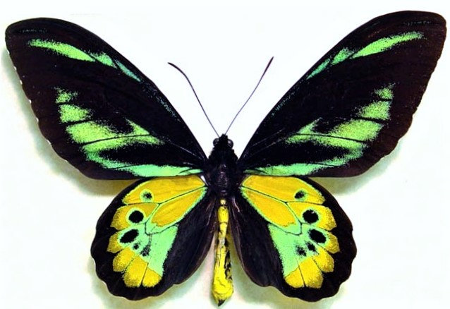 ONE Real butterfly green gold Ornithoptera rothschildi birdwing unmounted wings closed