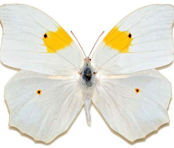 One Real Butterfly white yellow orange tip Anteos clorinde Peru
