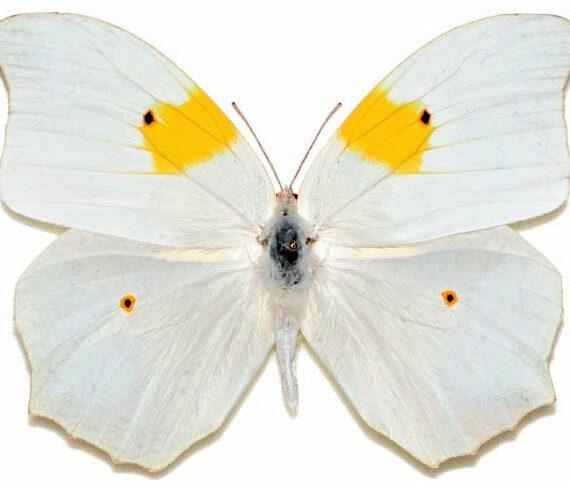 One Real Butterfly white yellow orange tip Anteos clorinde Peru