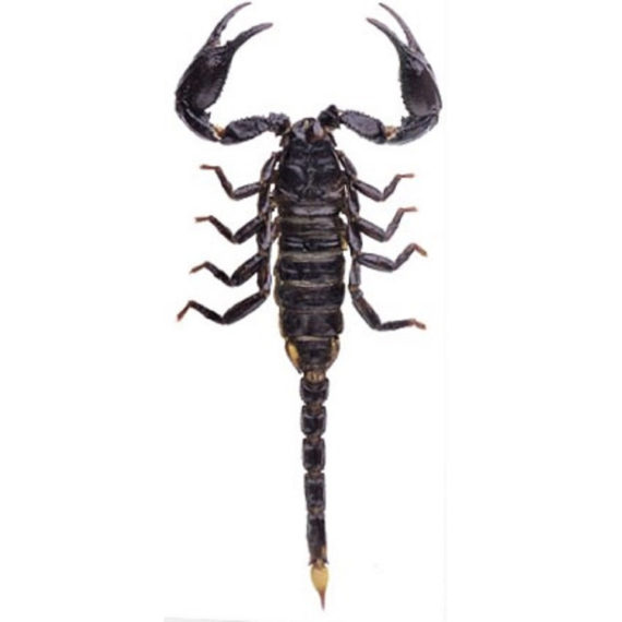WHOLESALE lot of 10- Real Giant Asian forest scorpion black Heterometrus spinifer