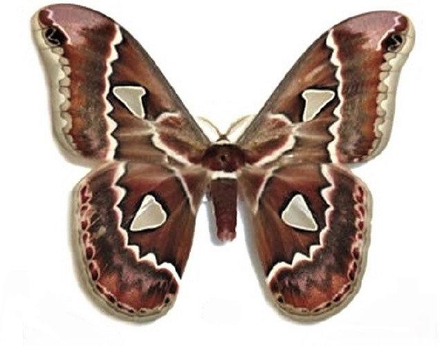 ONE real saturn moth Rothschildia cincta Arizona