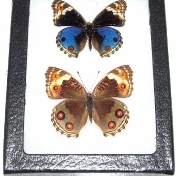 REAL framed butterfly blue buckeye Junonia orithya pair male female Japan