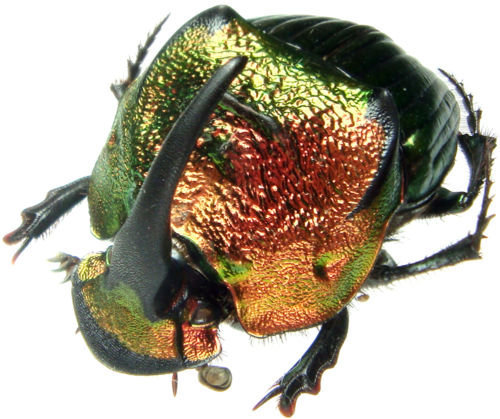 WHOLESALE lot of 10-  Real Orange Red Green Phanaeus mexicanus male horned rhinoceros scarab dung beetle pinned