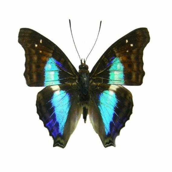 ONE Real Butterfly Blue Doxocopa cherubina Peru