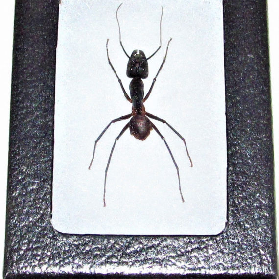 Real Framed Huge Giant Bullet Ant Camponotus gigas Largest Ant in the World