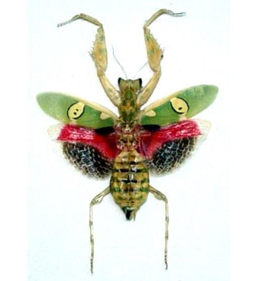 Real female pink flower praying mantis for sale