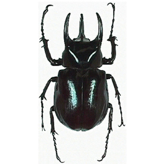 WHOLESALE lot of 10-  Real Chalcosoma caucasus atlas Rhinoceros Beetle Wings Closed Unmounted Packaged Insect Wholesale