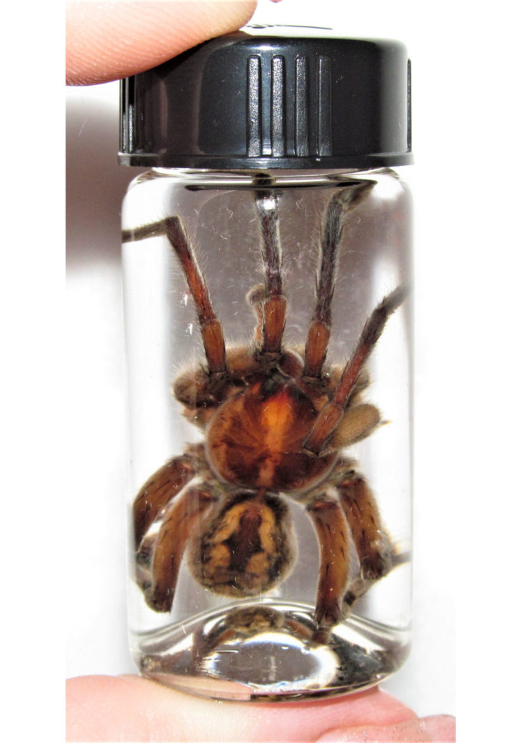 REAL HUGE Arizona Wolf Spider Tarantula Preserved in Glass Vial Wet Specimen Taxidermy Entomology 2.5in vial