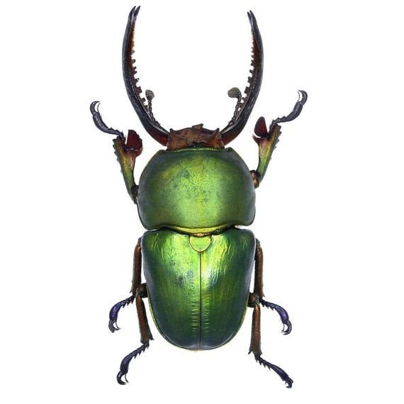 WHOLESALE lot of 10-  Real Green Lamprima Adolphinae Beetle Insect Artwork Wholesale