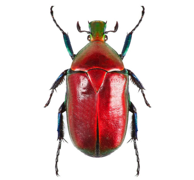 One Real red scarab beetle Torynorrhina flammea Thailand