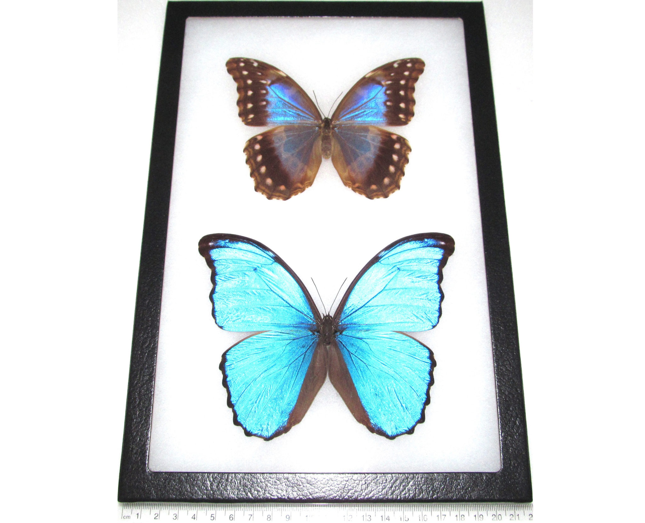 Real framed butterfly blue peruvian morpho didius pair male female