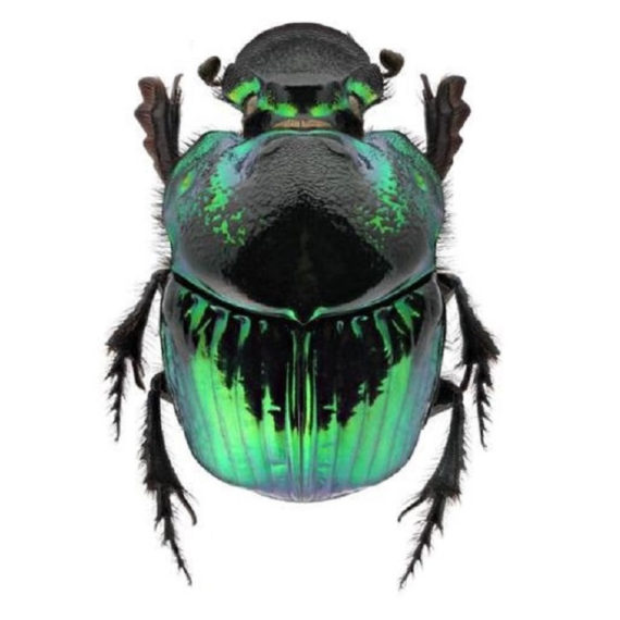 ONE Real Green Phanaeus demon female scarab dung beetle pinned