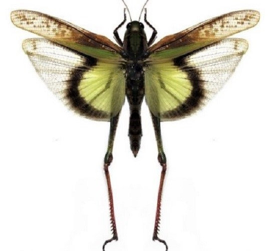 WHOLESALE lot of 10 - Real Grasshopper Gastrimargus africans parvulus female wings spread mounted packaged