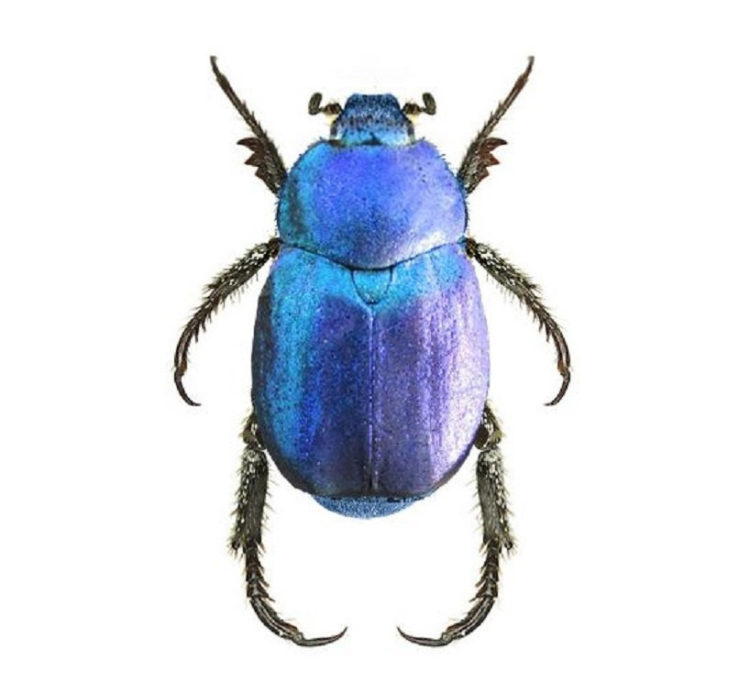 One Real Metallic blue Hoplia coerulea scarab beetle unmounted pinned France