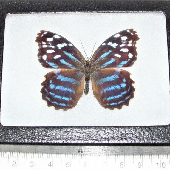 Real Framed Butterfly blue purple Myscelia