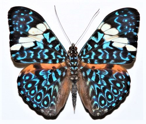 WHOLESALE lot of 10 - REAL butterfly blue white Hamadryas amphinome Peru