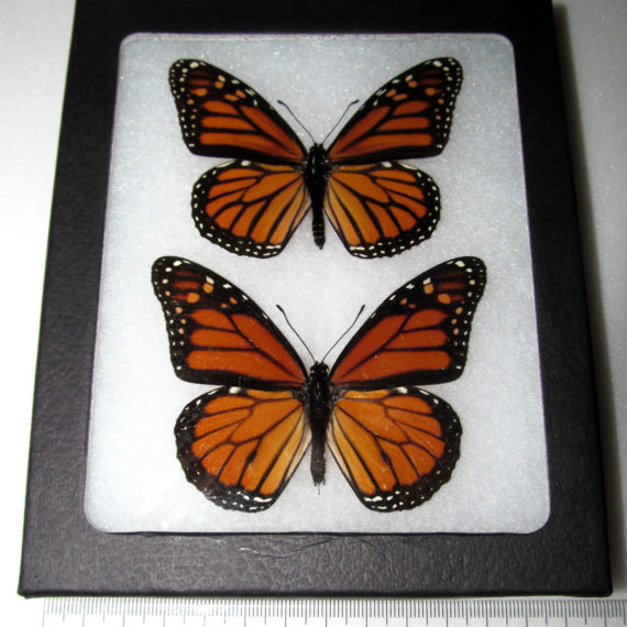 Real orange black north american monarch pair framed butterfly insect