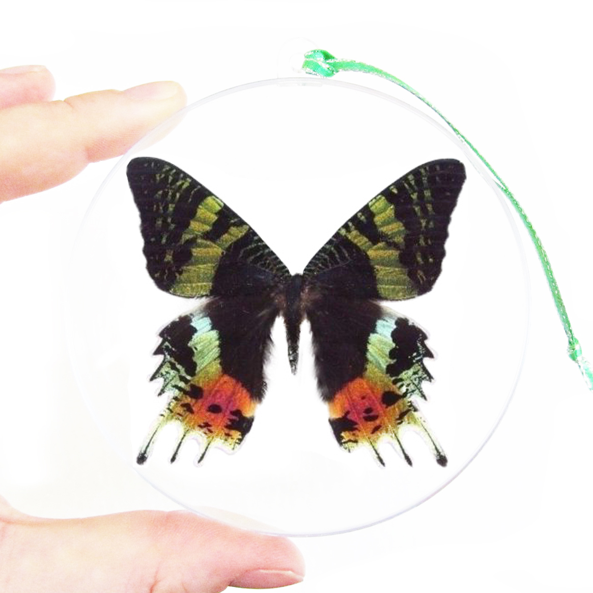 BicBugs Real Framed Butterfly Pink Orange Green Sunset Moth Urania RIPHEUS Madagascar Wings Closed