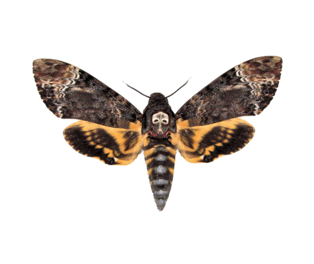 Acherontia lachesis Silence of the Lambs death's head moth ...