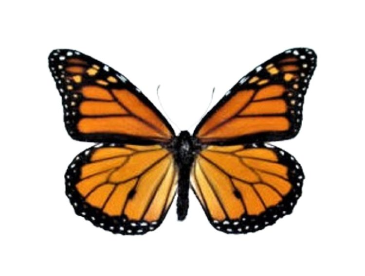 monarch butterflies for sale
