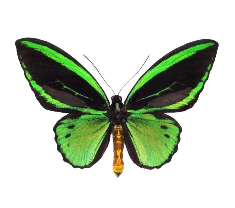 Real ornithoptera priamus butterflies for sale