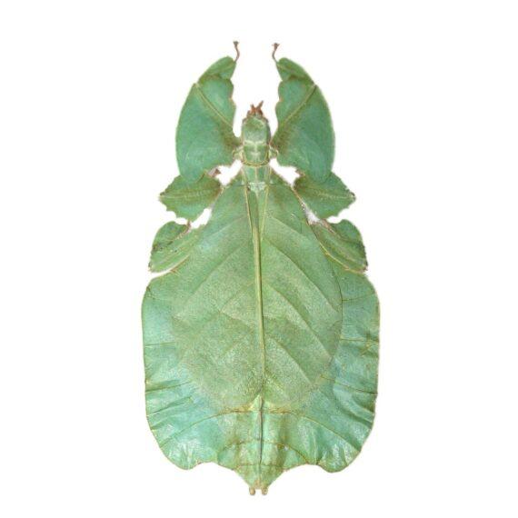 Real phyllium pulchrifolium green leaf bug specimens for sale