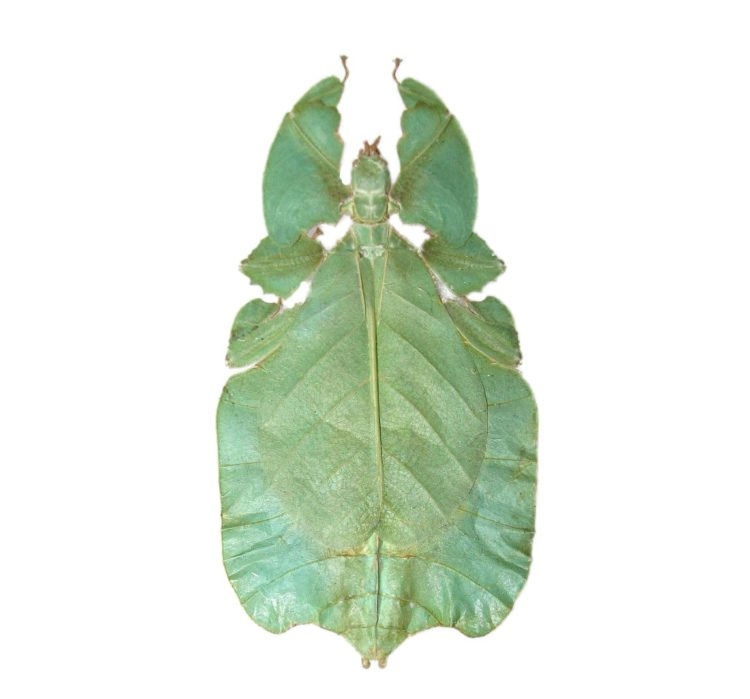 Real phyllium pulchrifolium green leaf bug specimens for sale
