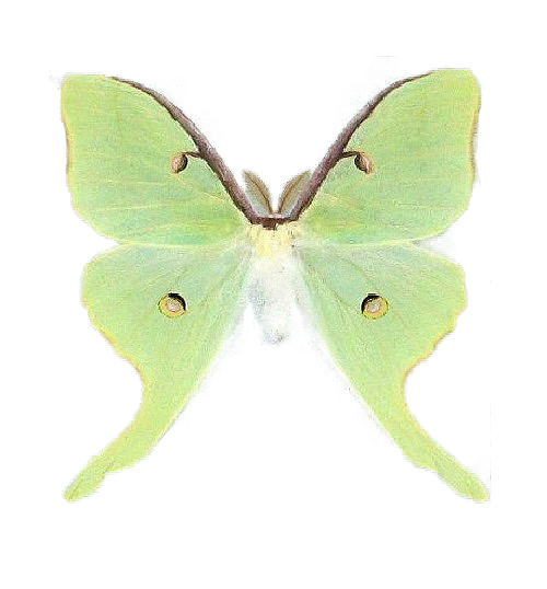 Real Actias luna moth for sale