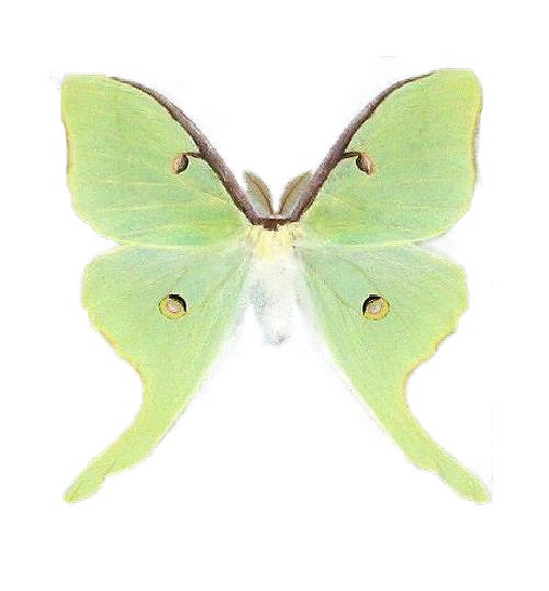 Real Actias luna moth for sale