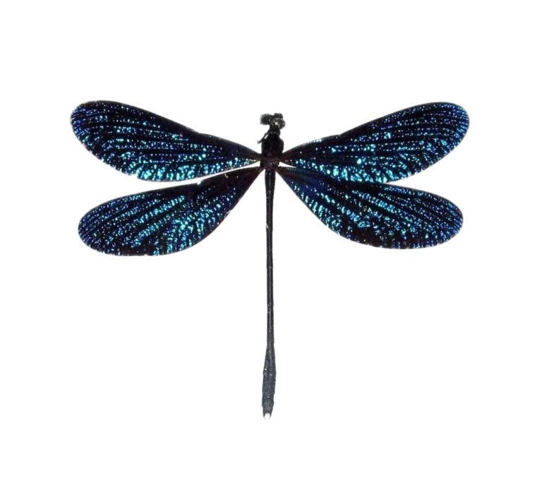 Real blue dragonfly specimens for sale