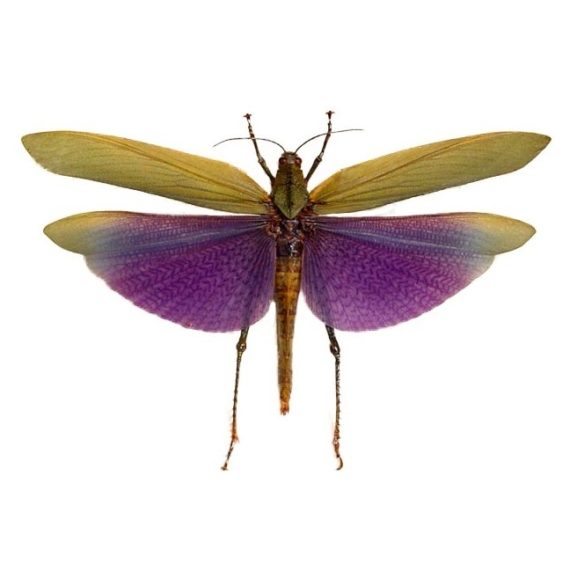 Real purple grasshopper specimens for sale Titanacris albipes