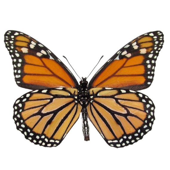 monarch butterflies for sale, verso