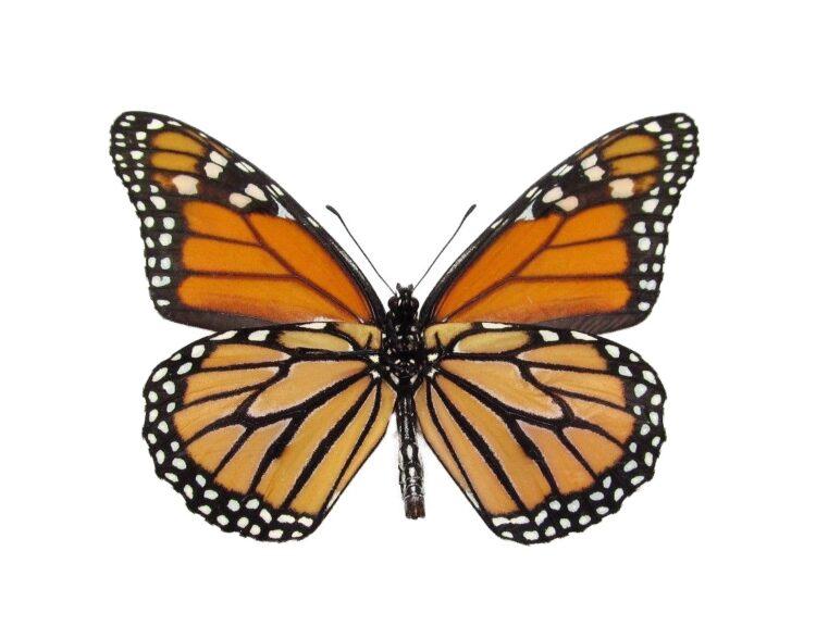 monarch butterflies for sale, verso