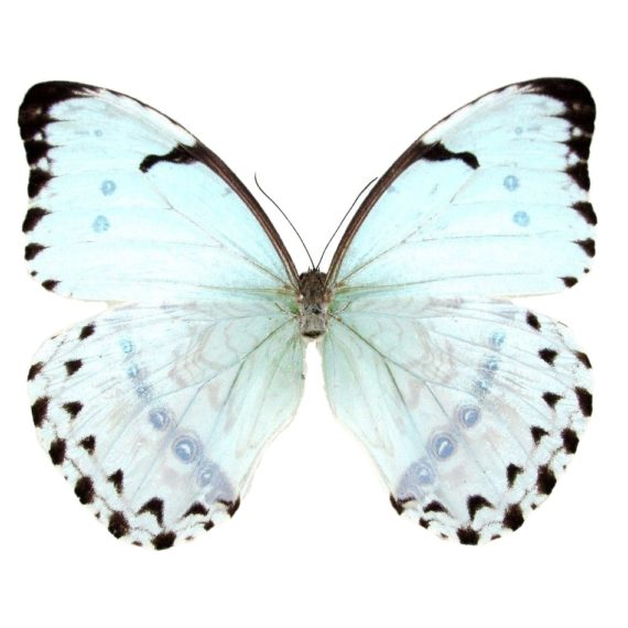 Buy real morpho catenaria