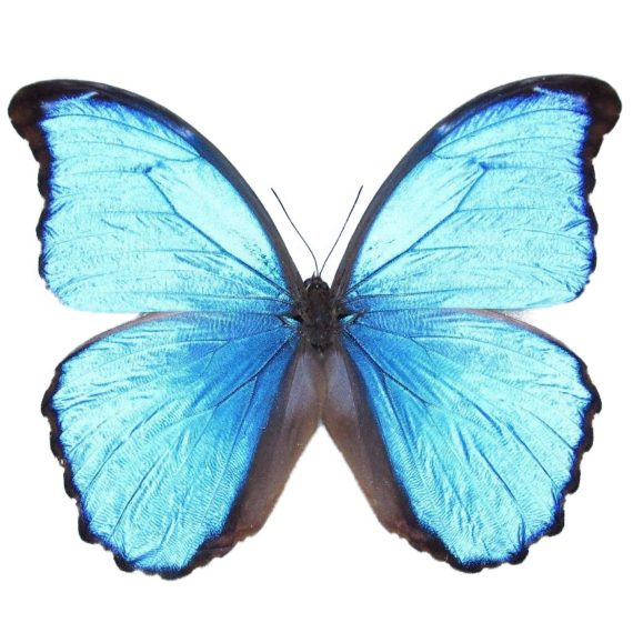 morpho didius butterfly for sale