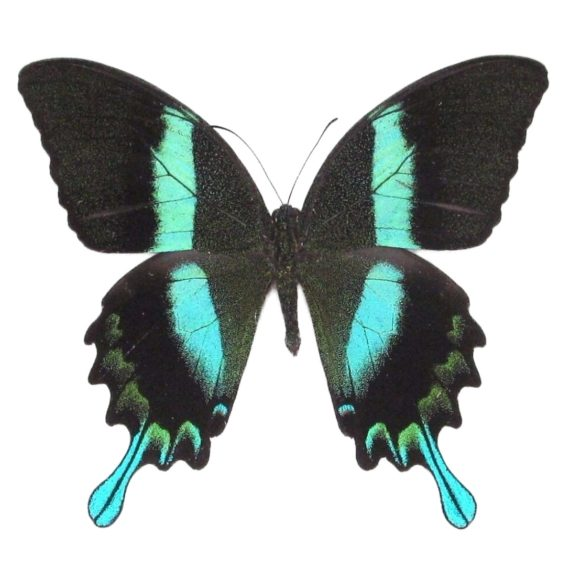 Real Papilio blumei peacock swallowtail butterfly for sale