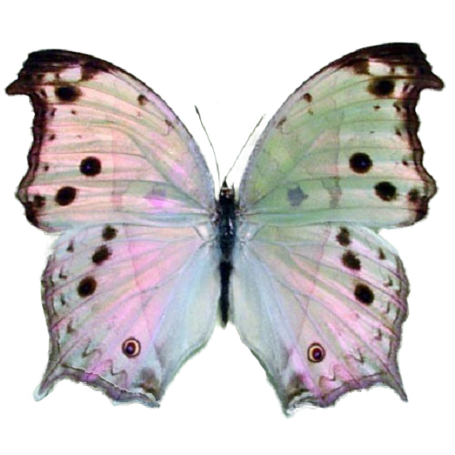 Real Salamis parhassus butterflies for sale