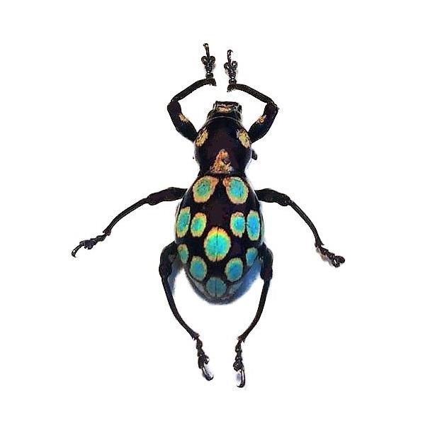 Real Pachyrrhynchus gemmatus blue green weevils for sale