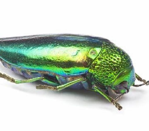 Sternocera aequisignata beetle for sale