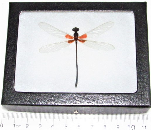 framed pink orange clearwing dragonfly USA