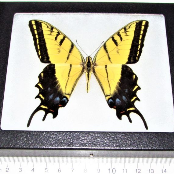 framed Papilio multicaudata yellow two tailed swallowtail Arizona USA