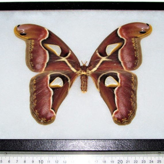 framed Attacus edwardsi female atlas moth Indonesia
