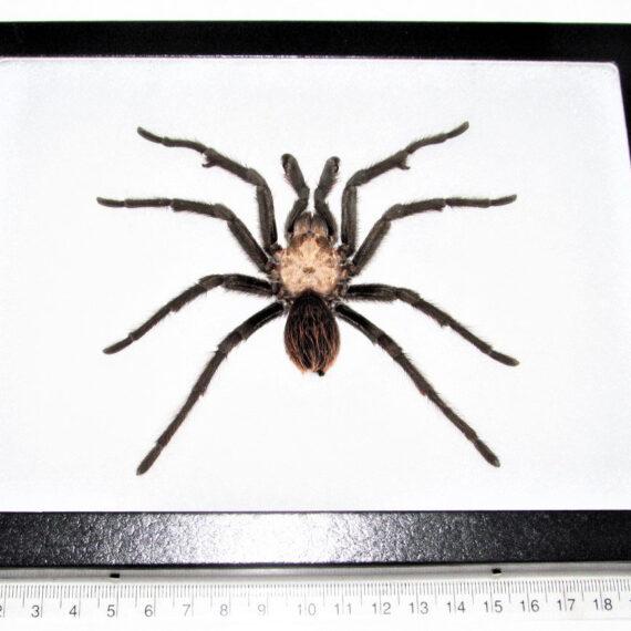 Aphonopelma chalcodes female REAL FRAMED ARIZONA BLONDE TARANTULA USA