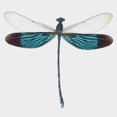 Dragonflies and Cicadas