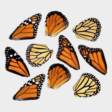 Loose Wings- Butterfly, Moth, Dragonfly